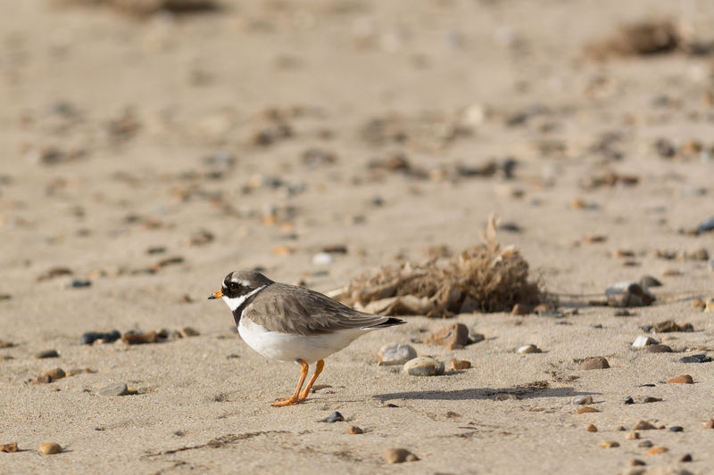 Ring Necked Plover