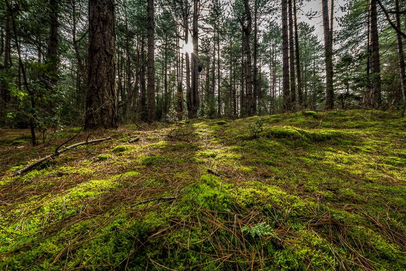 Holkham Woods